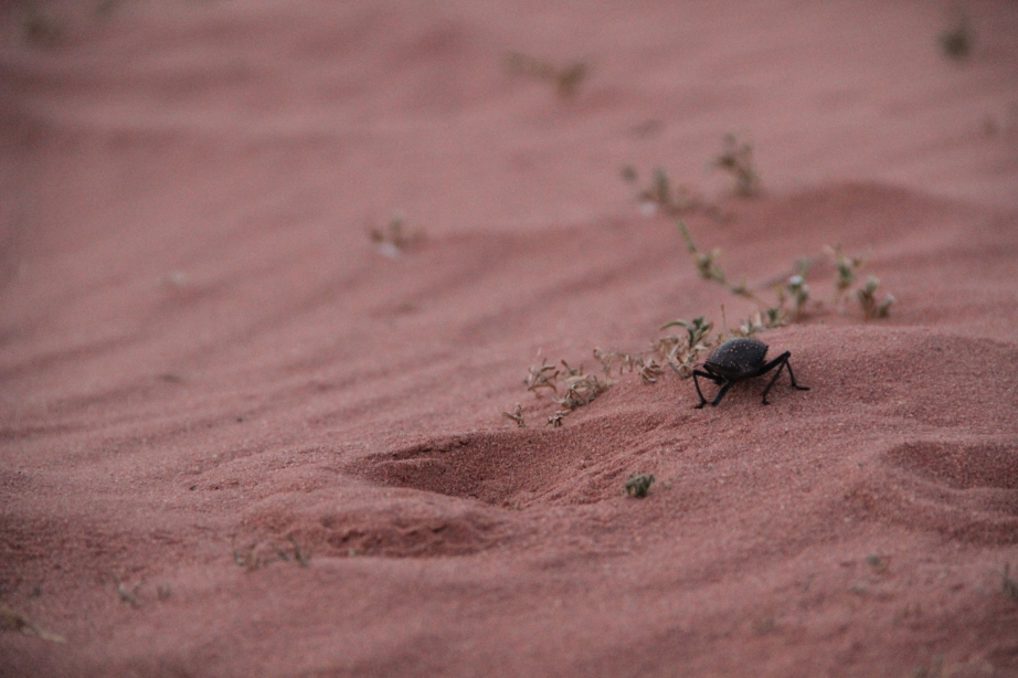 This huge beetle was scrambling in the desert, just like us.