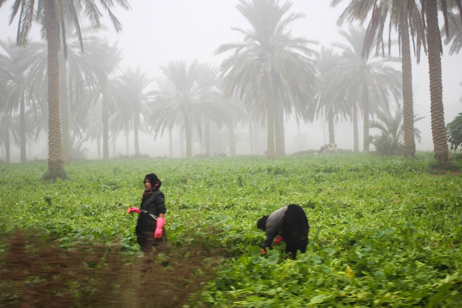 Female farmers in Latifiyah, an area just outside Baghdad that is only recently being resettled after the early 2000s.