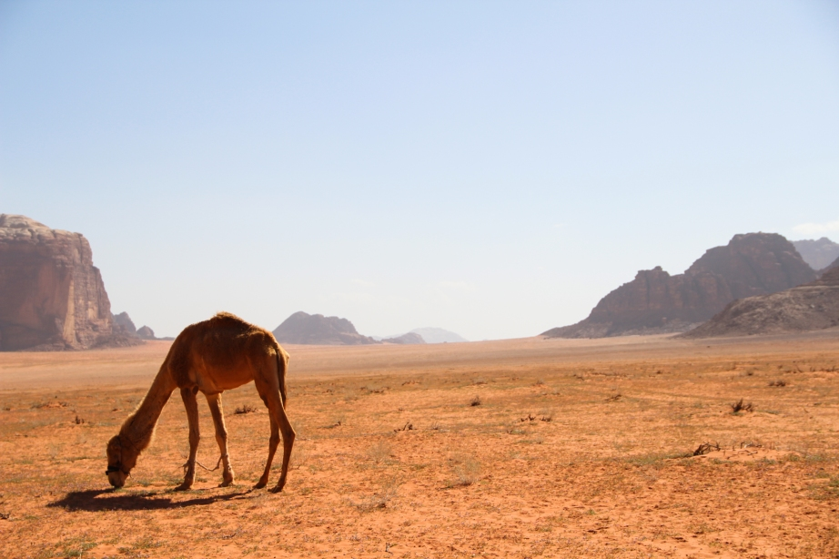 Camel, Wadi Rum, March 2014